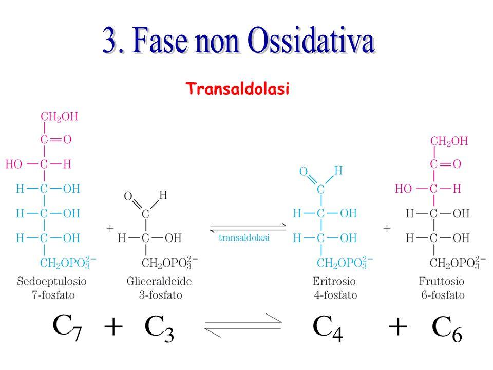 3. Fase non Ossidativa Transaldolasi 4 6