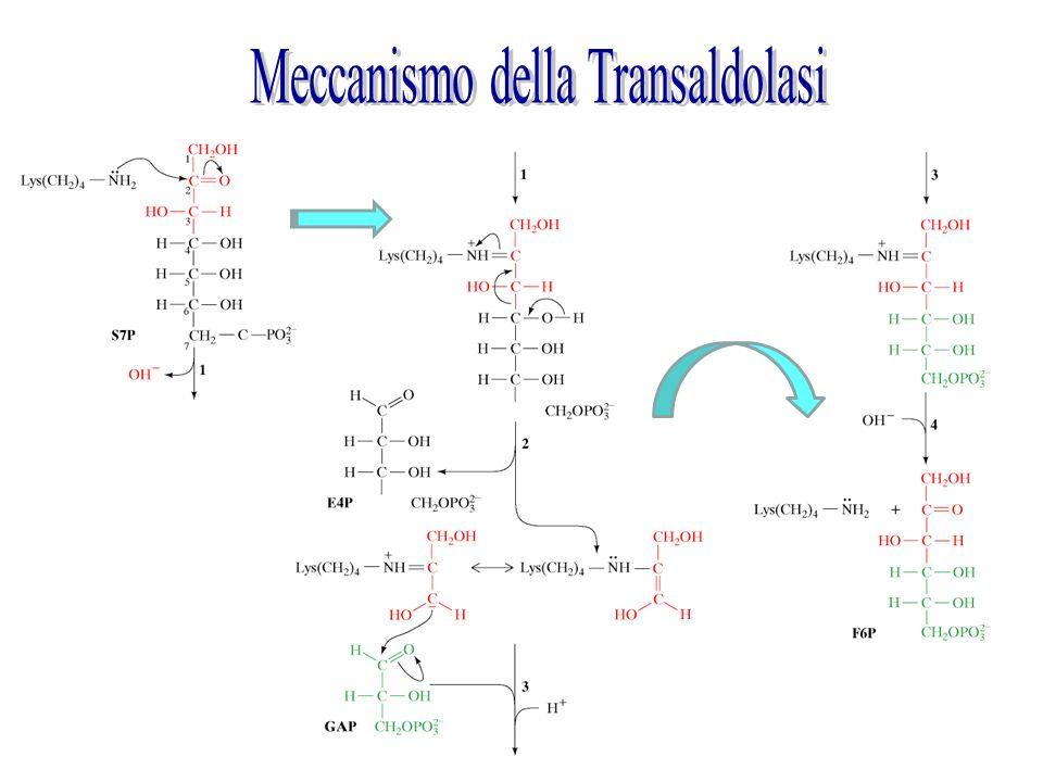 Meccanismo della Transaldolasi