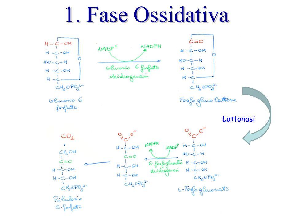 1. Fase Ossidativa Lattonasi