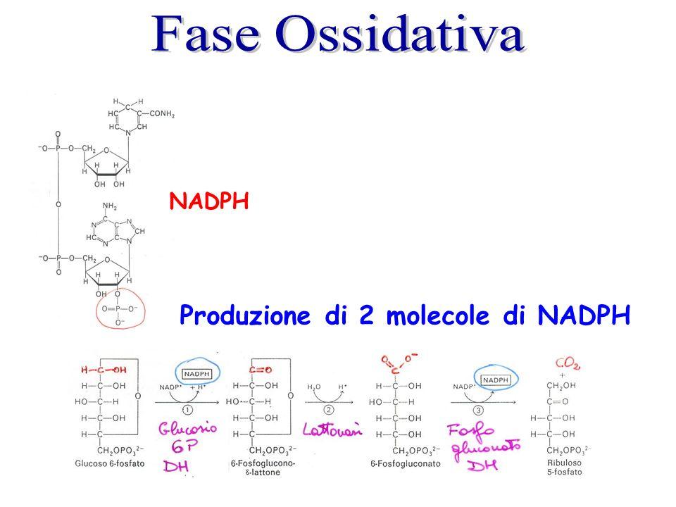 Fase Ossidativa NADPH Produzione di 2 molecole di NADPH