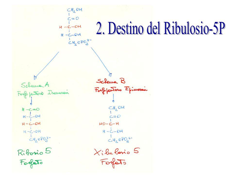 2. Destino del Ribulosio-5P