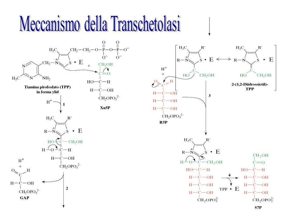 Meccanismo della Transchetolasi