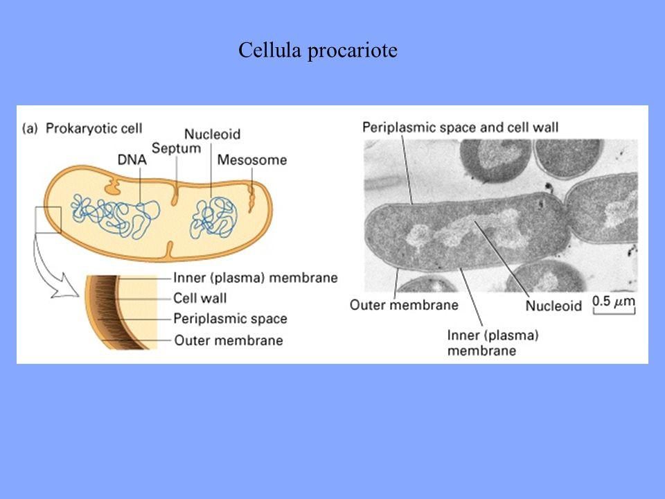 Cellula procariote