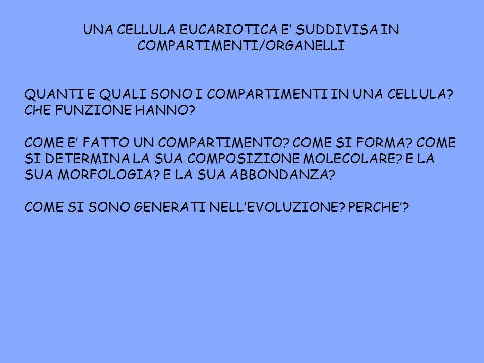 UNA CELLULA EUCARIOTICA E' SUDDIVISA IN COMPARTIMENTI/ORGANELLI