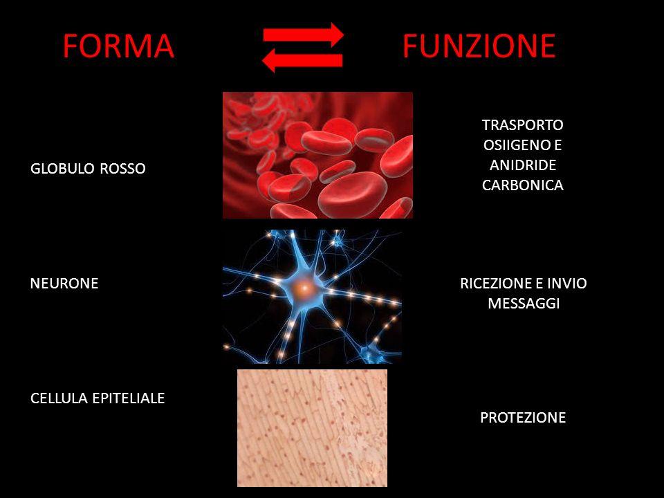 FORMA FUNZIONE TRASPORTO OSIIGENO E ANIDRIDE CARBONICA GLOBULO ROSSO