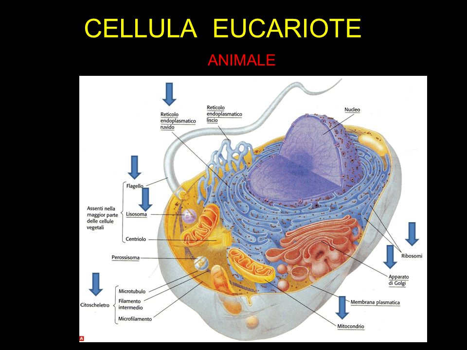CELLULA EUCARIOTE ANIMALE