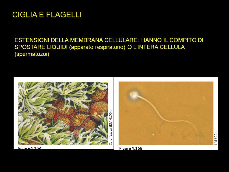 CIGLIA E FLAGELLI ESTENSIONI DELLA MEMBRANA CELLULARE: HANNO IL COMPITO DI SPOSTARE LIQUIDI (apparato respiratorio) O L'INTERA CELLULA (spermatozoi)