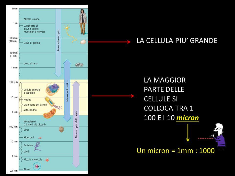 LA CELLULA PIU' GRANDE LA MAGGIOR PARTE DELLE CELLULE SI COLLOCA TRA 1 100 E I 10 micron.