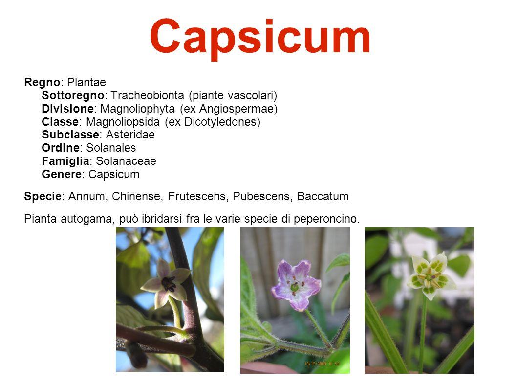 Capsicum regno plantae sottoregno tracheobionta piante for Acquisto piante peperoncino