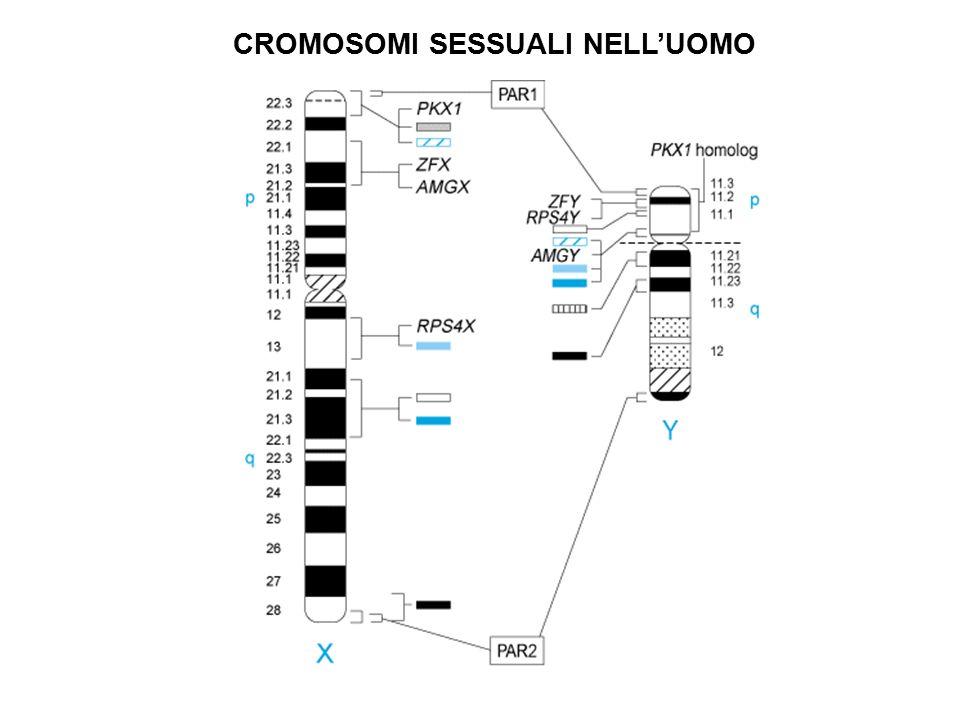 CROMOSOMI SESSUALI NELL'UOMO