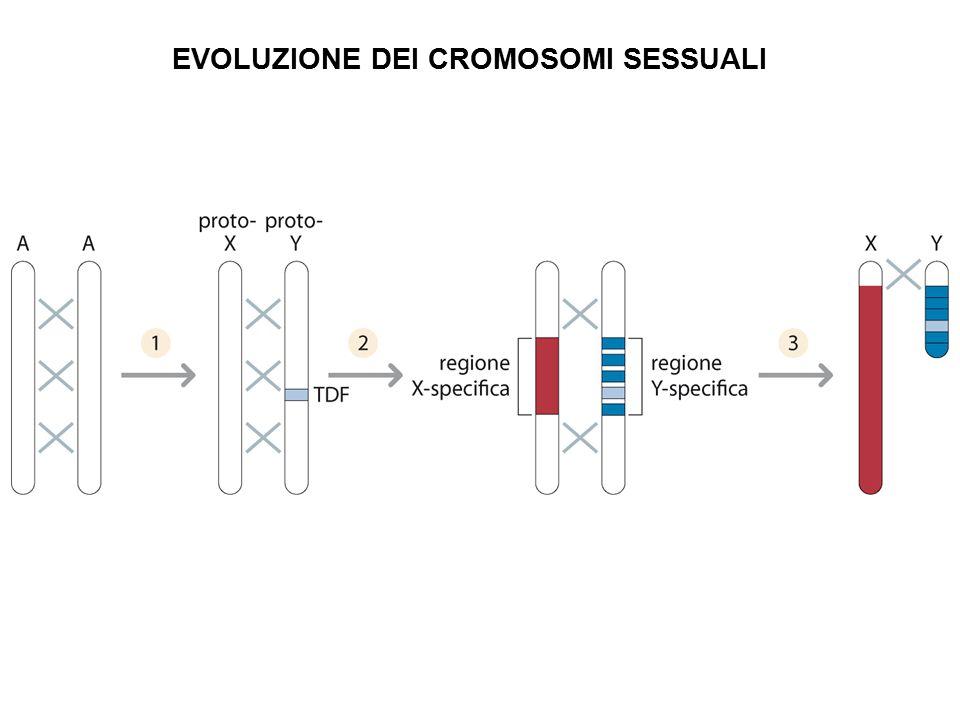 EVOLUZIONE DEI CROMOSOMI SESSUALI