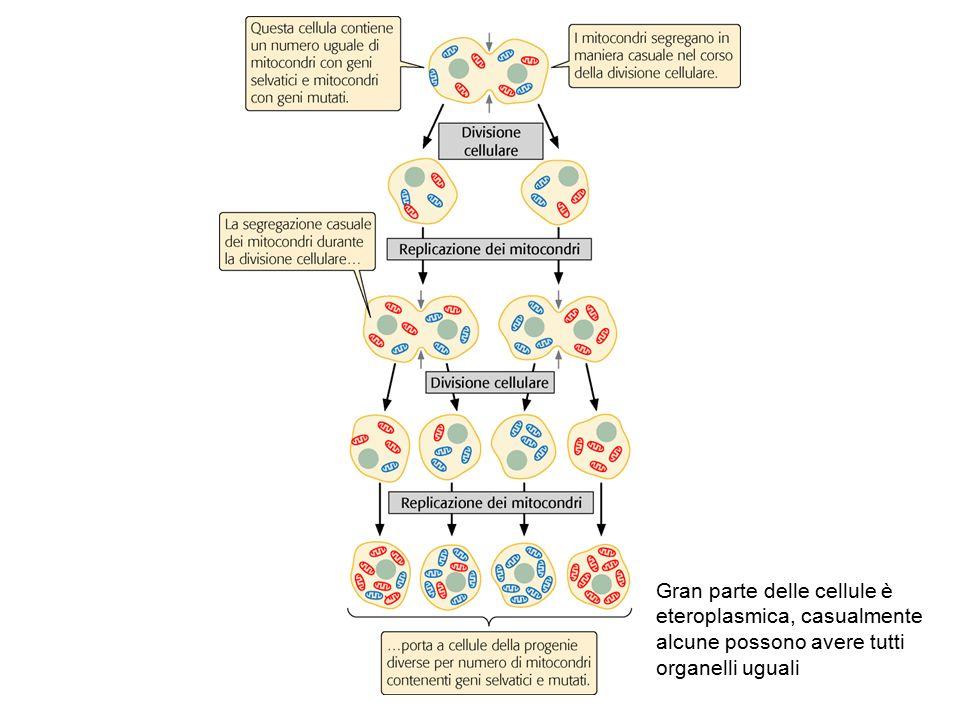 Gran parte delle cellule è eteroplasmica, casualmente alcune possono avere tutti