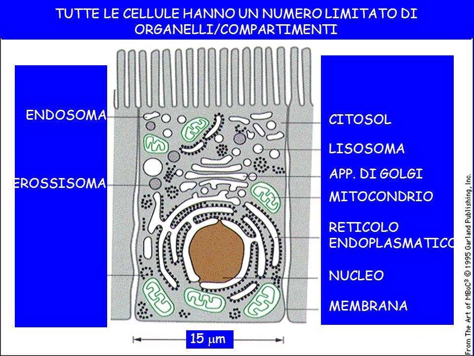 TUTTE LE CELLULE HANNO UN NUMERO LIMITATO DI ORGANELLI/COMPARTIMENTI