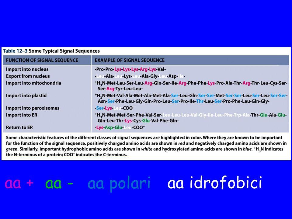 aa + aa - aa polari aa idrofobici