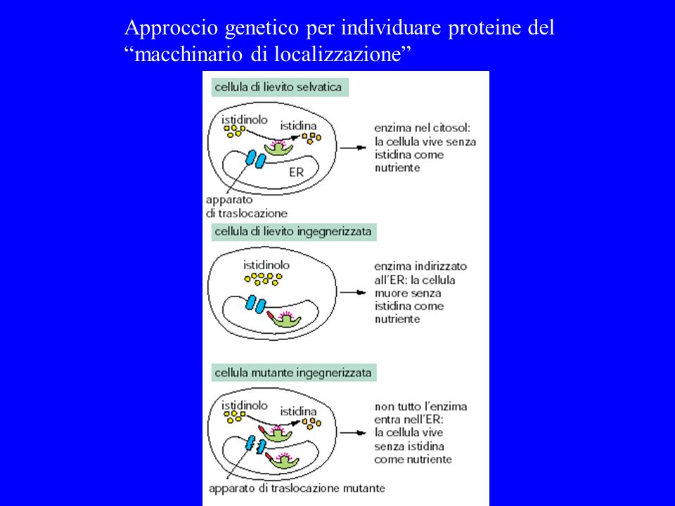 Approccio genetico per individuare proteine del