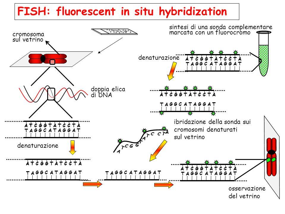 Cosa si intende per cariotipo ppt scaricare for Fish fluorescent in situ hybridization