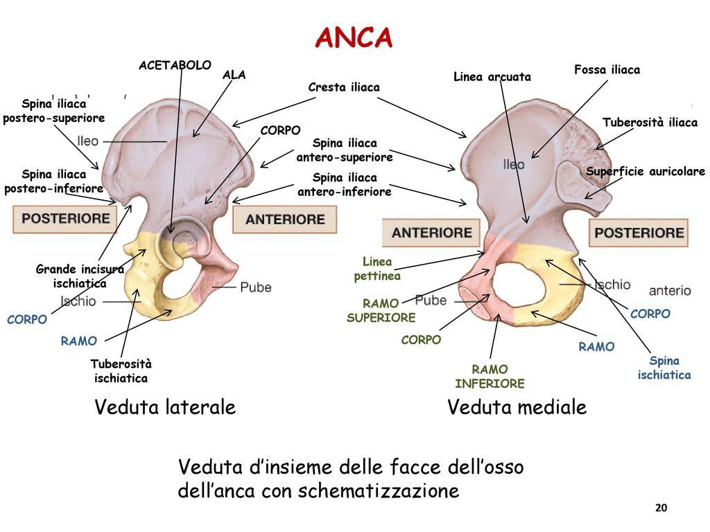 Atemberaubend Spina Iliaca Zeitgenössisch - Menschliche Anatomie ...