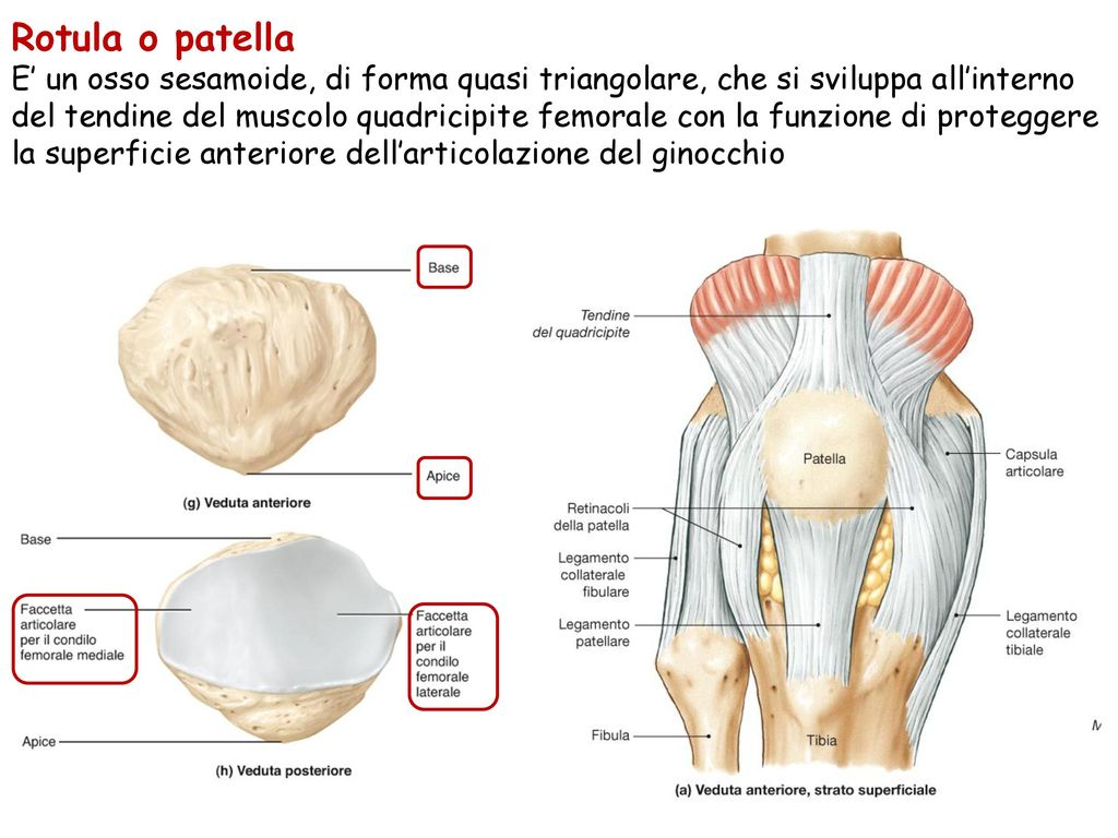 Rotula o patella