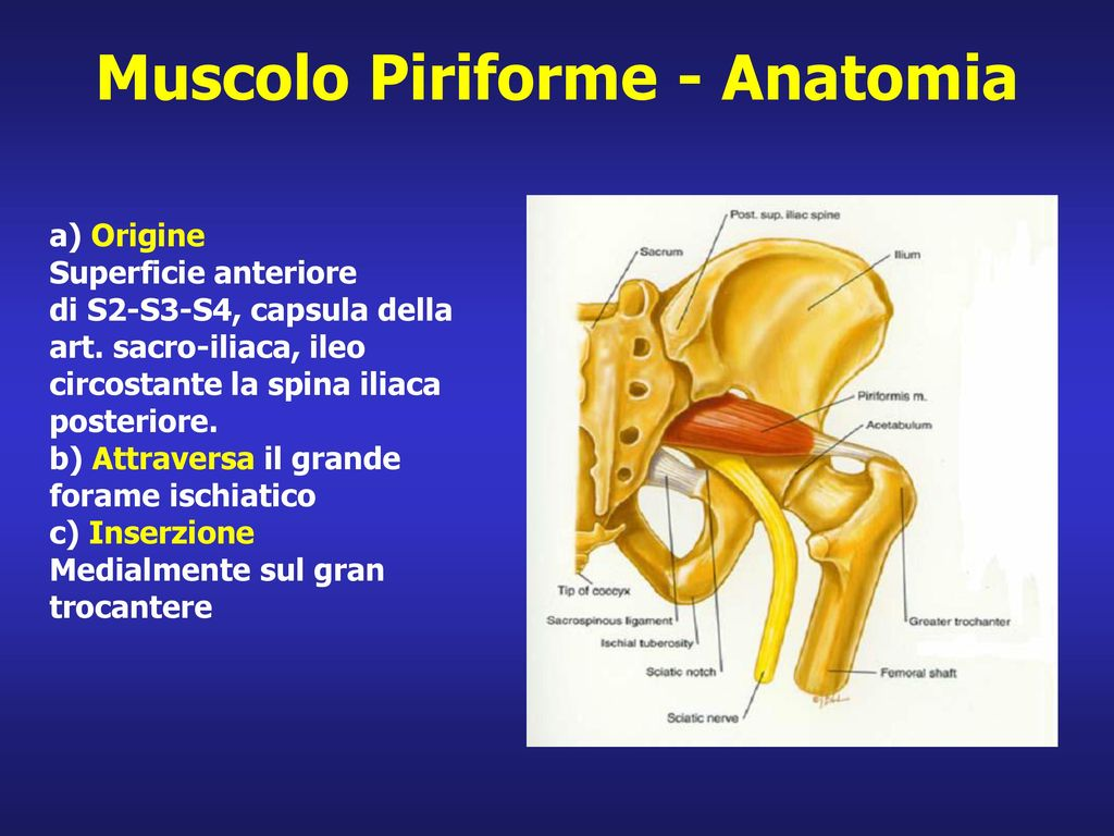 Muscolo Piriforme - Anatomia