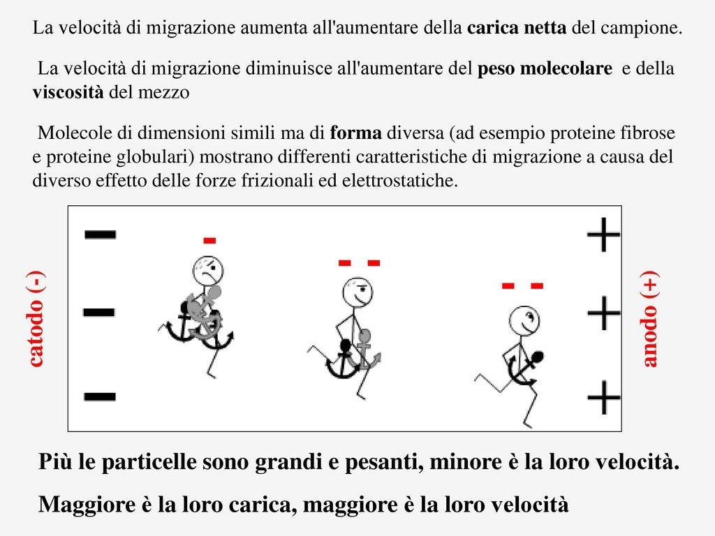 Elettroforesi tecnica di separazione di molecole cariche for Dimensioni del garage di 2 e mezzo