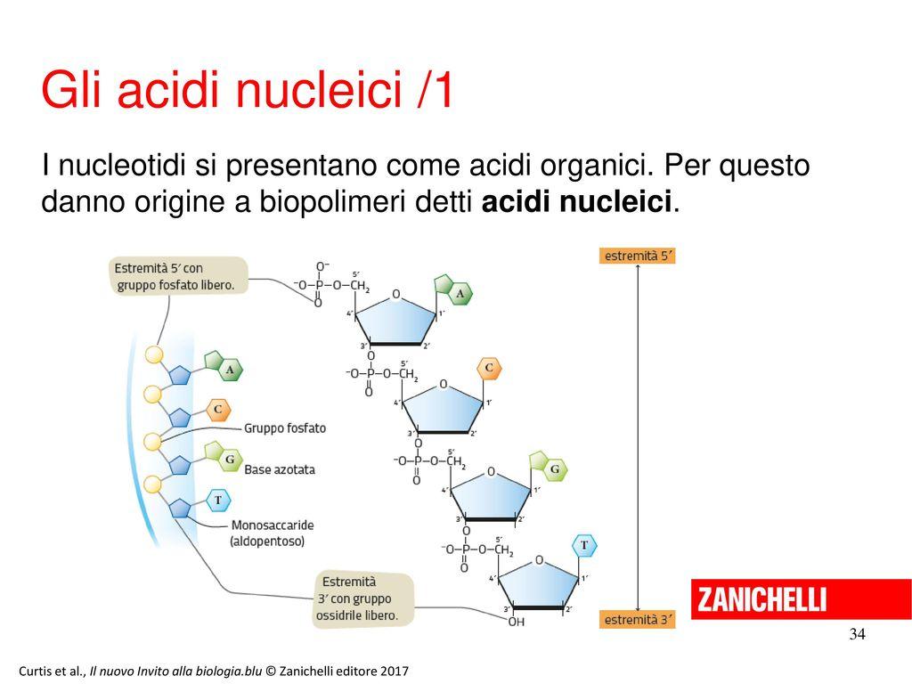 13/11/11 Gli acidi nucleici /1. I nucleotidi si presentano come acidi organici. Per questo danno origine a biopolimeri detti acidi nucleici.