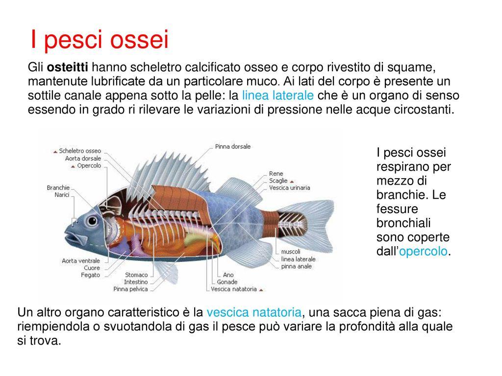 L evoluzione dei vertebrati ppt scaricare for Pesci con la e