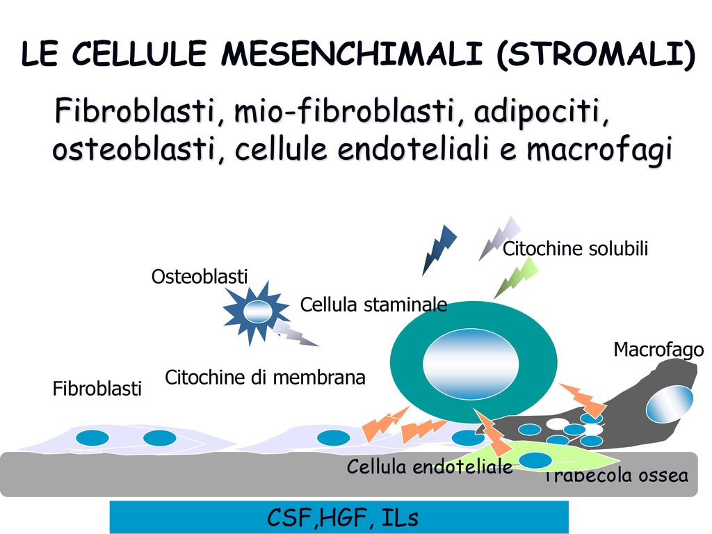 LE CELLULE MESENCHIMALI (STROMALI)