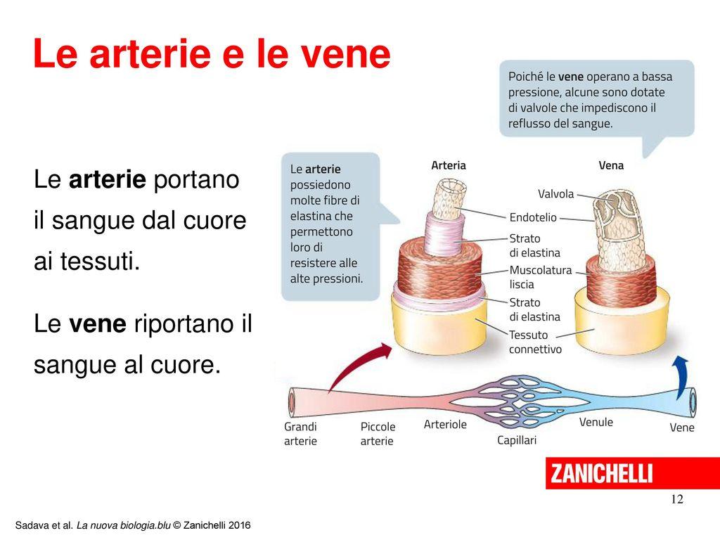 Fein Vene Arterie Ideen - Anatomie Und Physiologie Knochen Bilder ...