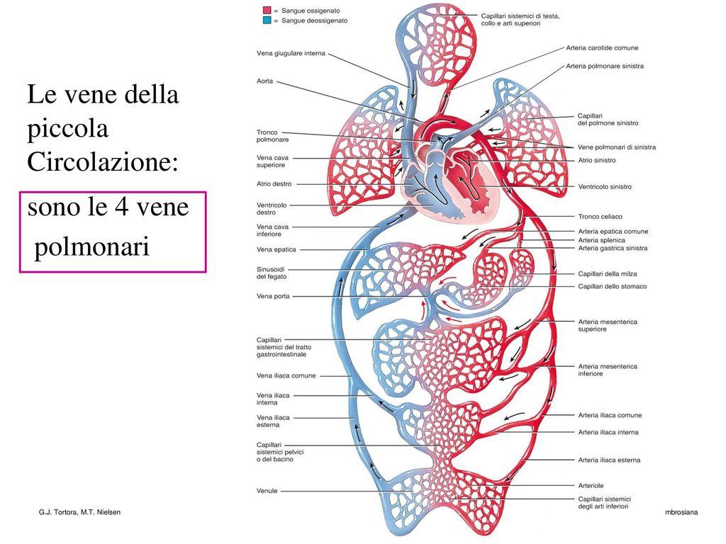 Ausgezeichnet Venen Vs Arterien Ideen - Anatomie Ideen - finotti.info