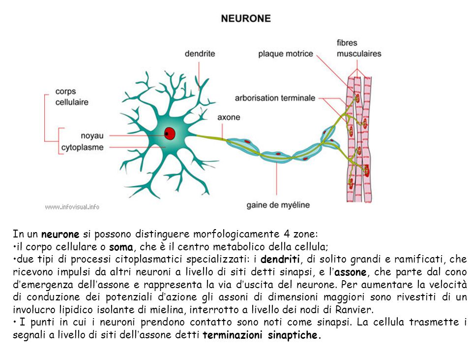 In un neurone si possono distinguere morfologicamente 4 zone: