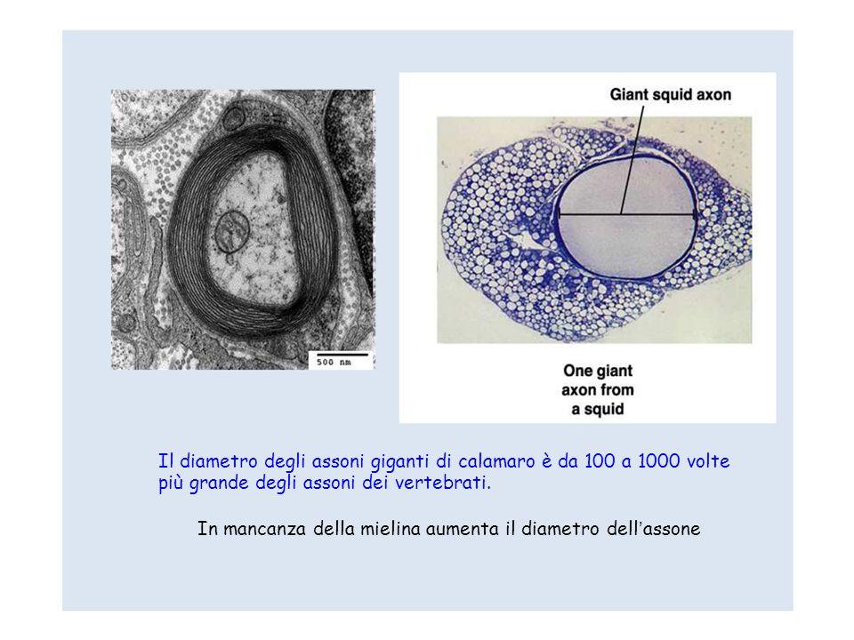 Il diametro degli assoni giganti di calamaro è da 100 a 1000 volte più grande degli assoni dei vertebrati.