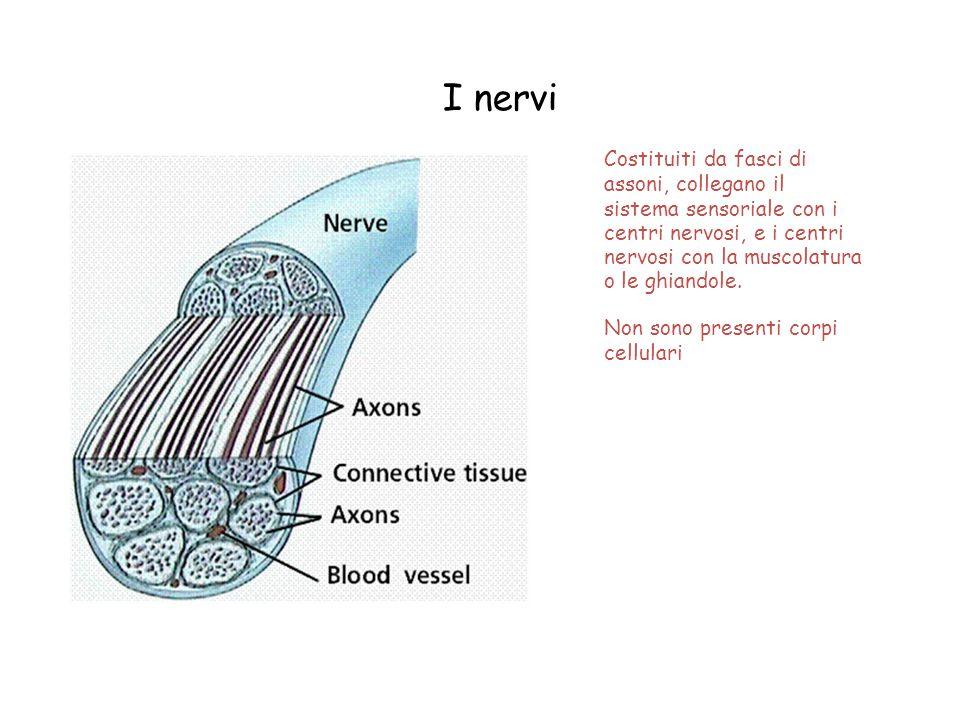 I nervi Costituiti da fasci di assoni, collegano il