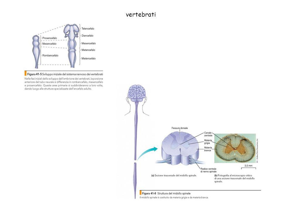 vertebrati