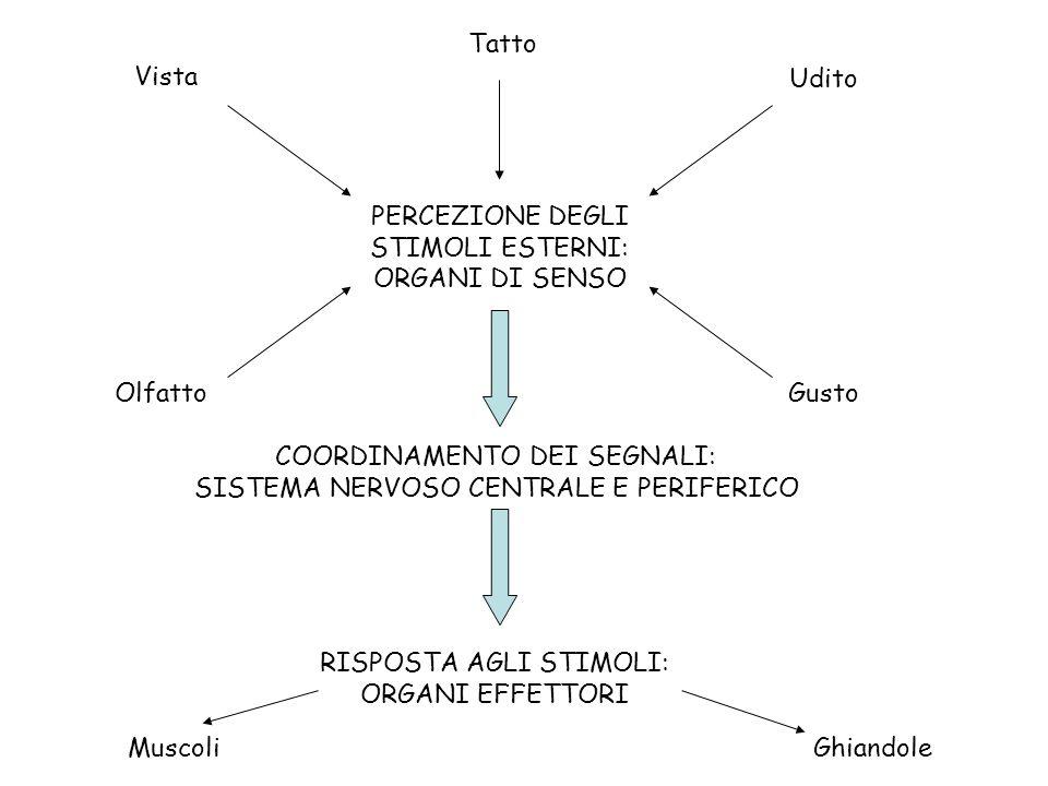 PERCEZIONE DEGLI STIMOLI ESTERNI: ORGANI DI SENSO