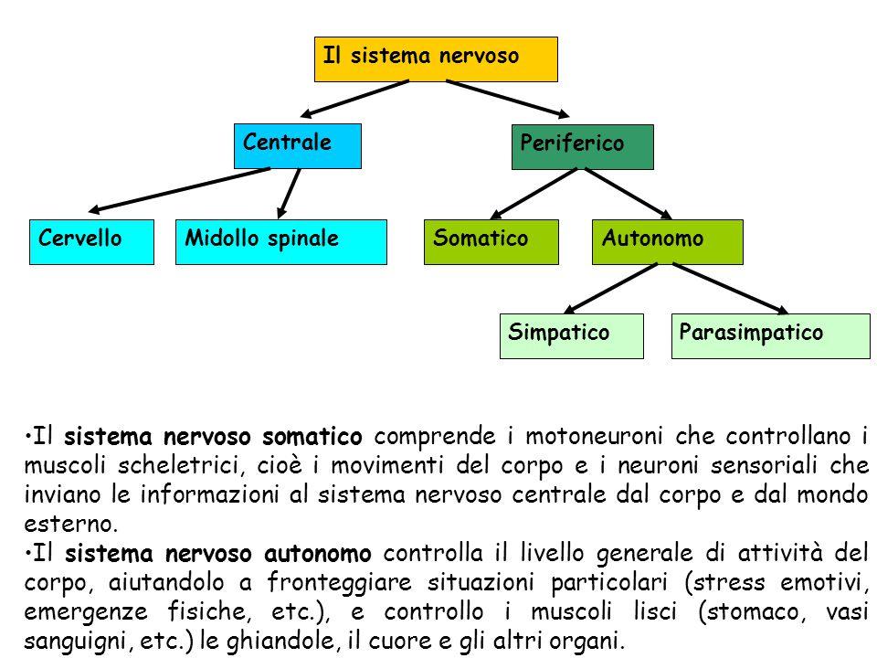 Il sistema nervoso Centrale. Periferico. Cervello. Midollo spinale. Somatico. Autonomo. Simpatico.