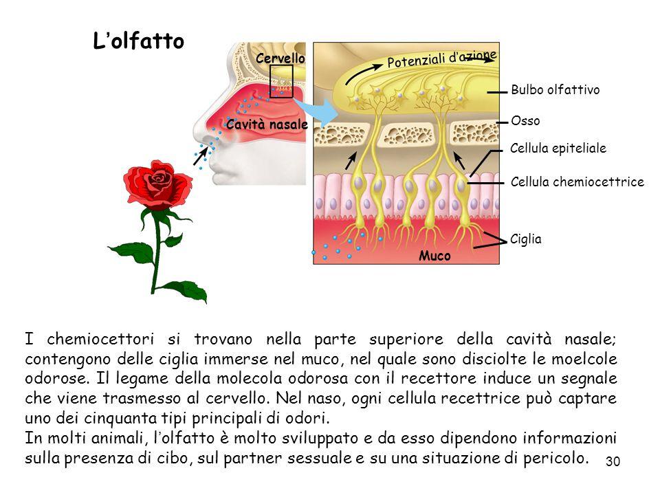 L'olfatto Cervello. Potenziali d'azione. Bulbo olfattivo. Cavità nasale. Osso. Cellula epiteliale.
