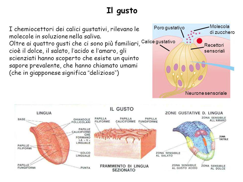 Il gusto Calice gustativo. Poro gustativo. Molecola. di zucchero. Recettori. sensoriali. Neurone sensoriale.