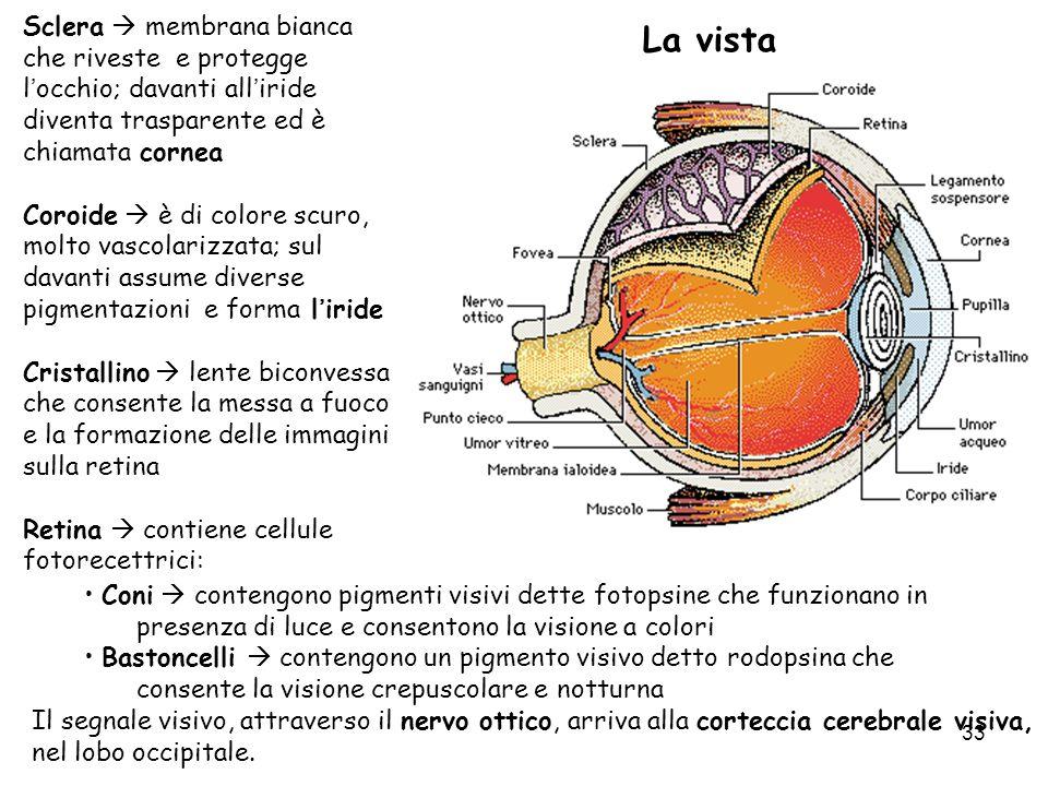 Sclera  membrana bianca che riveste e protegge l'occhio; davanti all'iride diventa trasparente ed è chiamata cornea