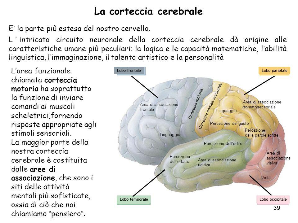 La corteccia cerebrale