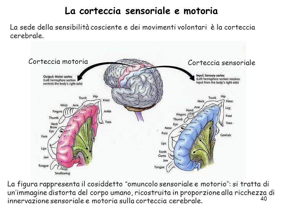 La corteccia sensoriale e motoria