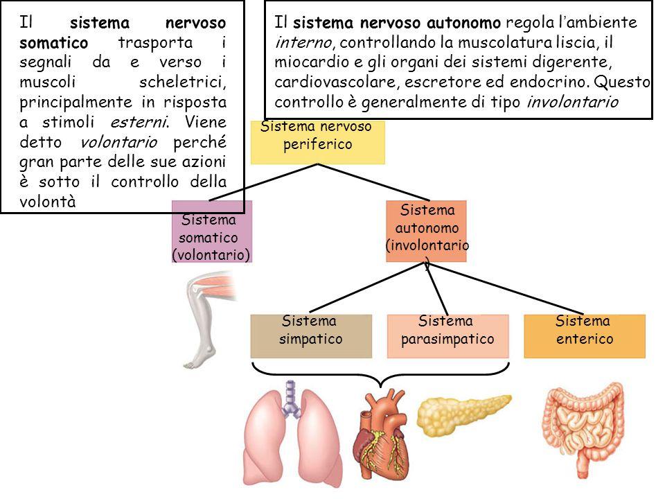 Il sistema nervoso somatico trasporta i segnali da e verso i muscoli scheletrici, principalmente in risposta a stimoli esterni. Viene detto volontario perché gran parte delle sue azioni è sotto il controllo della volontà