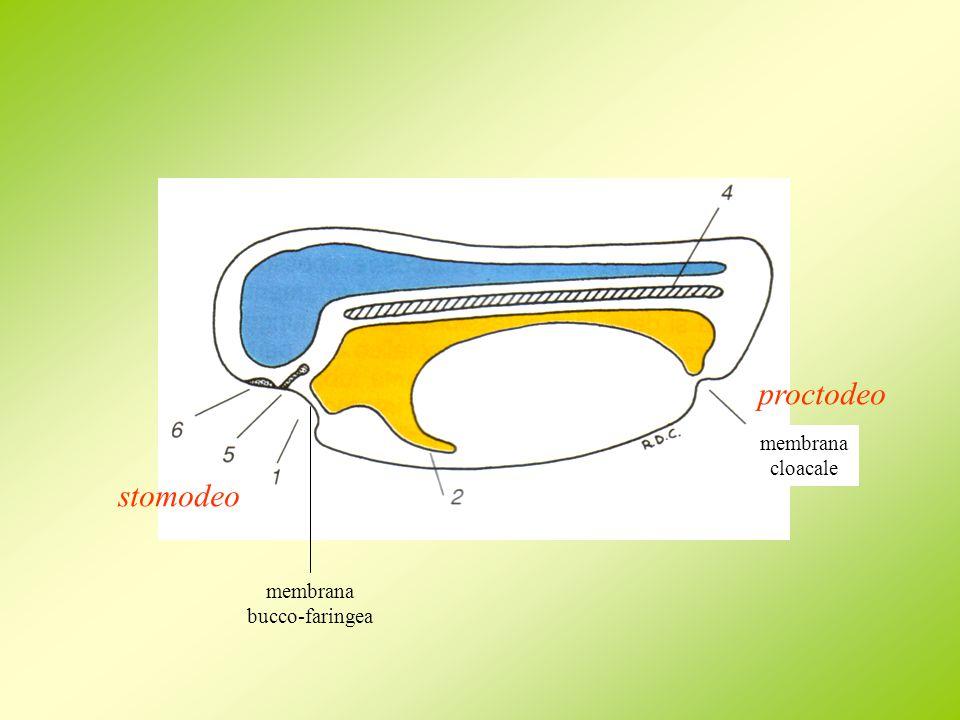 proctodeo membrana cloacale stomodeo membrana bucco-faringea
