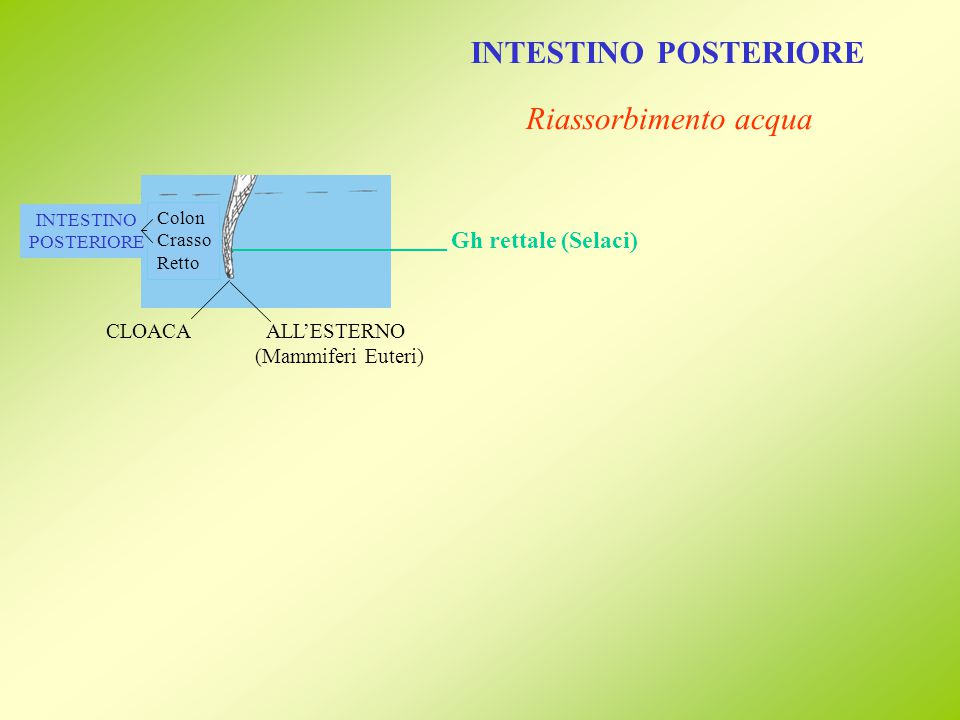 INTESTINO POSTERIORE Riassorbimento acqua Gh rettale (Selaci)