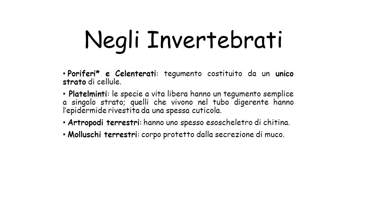 Negli Invertebrati Poriferi* e Celenterati: tegumento costituito da un unico strato di cellule.
