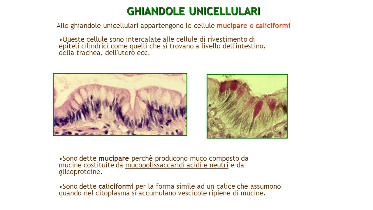 GHIANDOLE UNICELLULARI