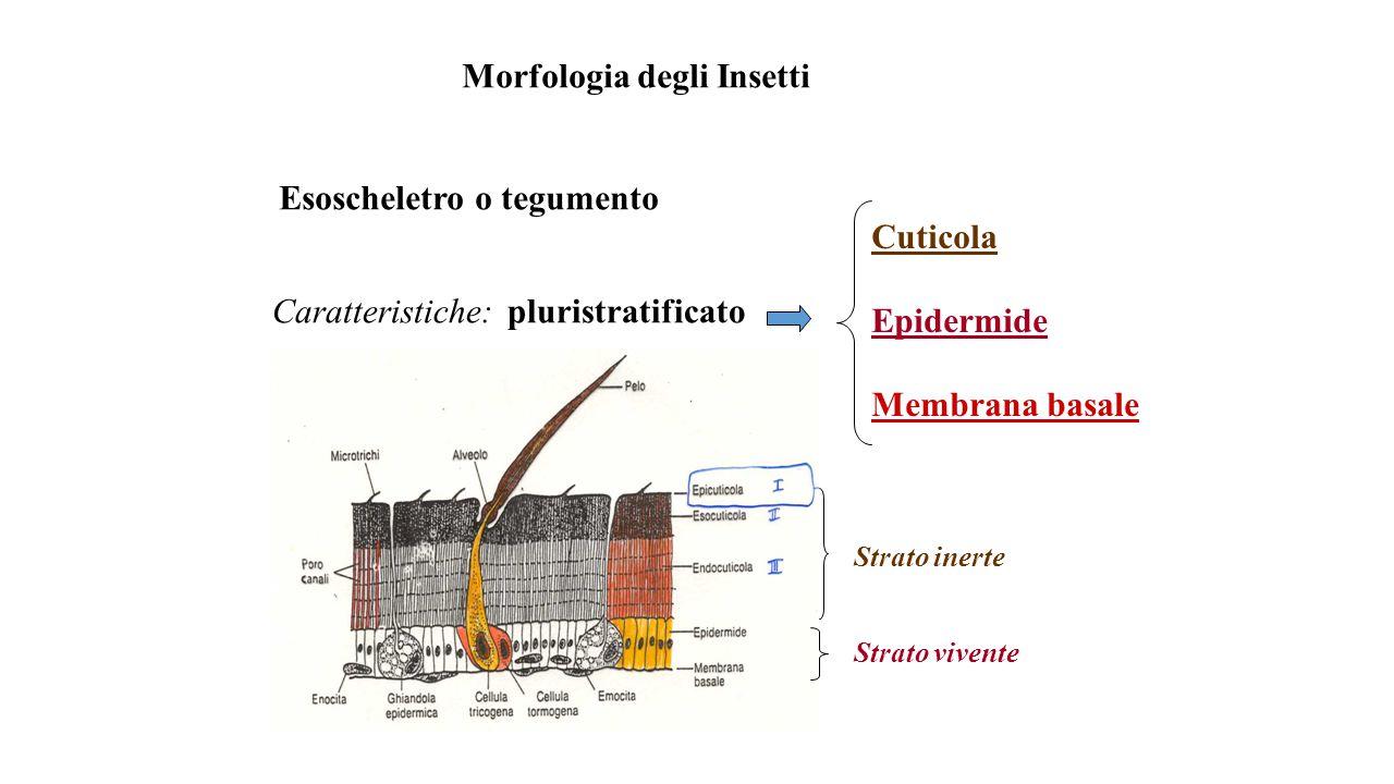 Morfologia degli Insetti