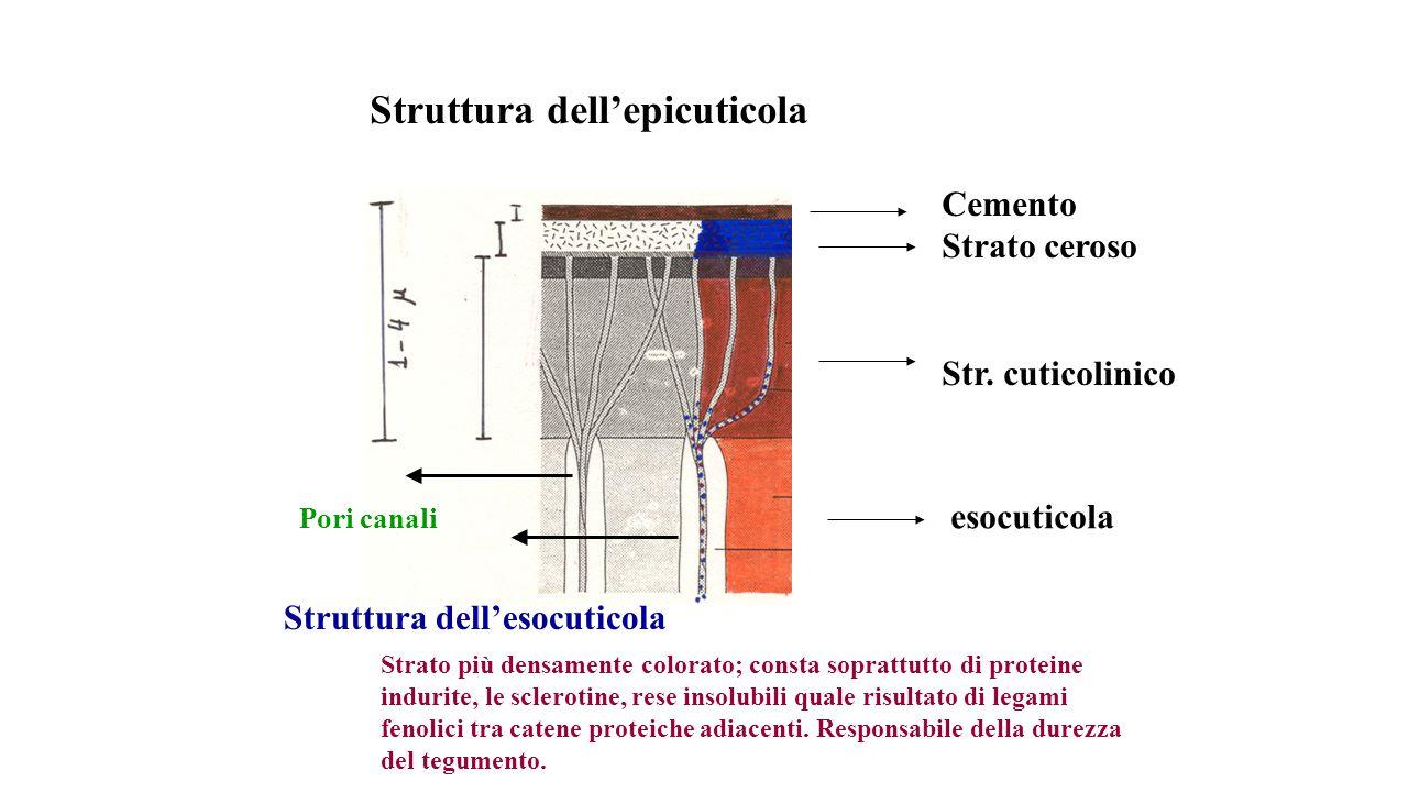 Struttura dell'epicuticola