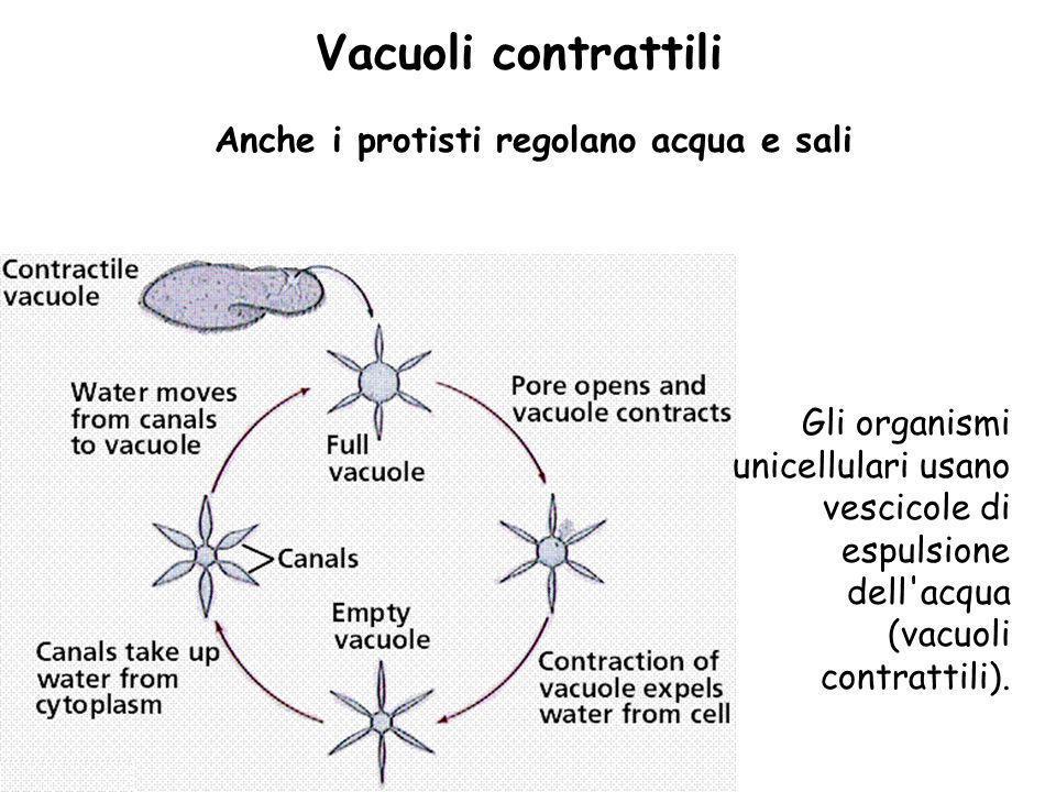 Vacuoli contrattili Anche i protisti regolano acqua e sali