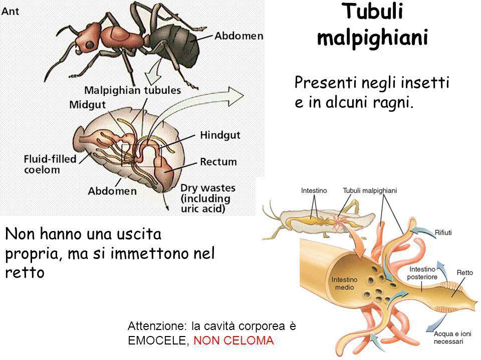 Tubuli malpighiani Presenti negli insetti e in alcuni ragni.