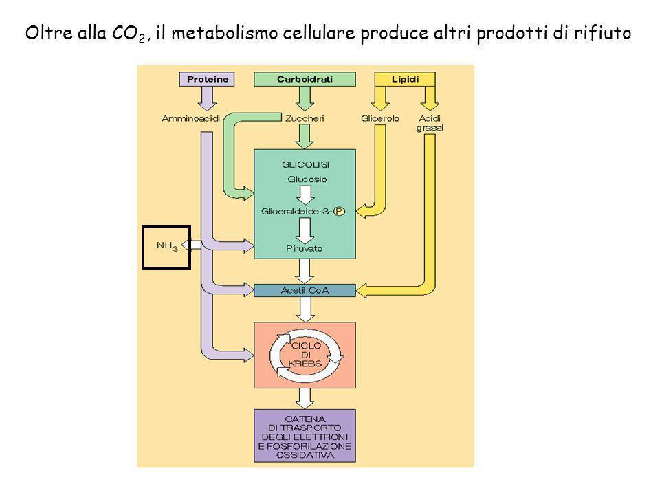Oltre alla CO2, il metabolismo cellulare produce altri prodotti di rifiuto